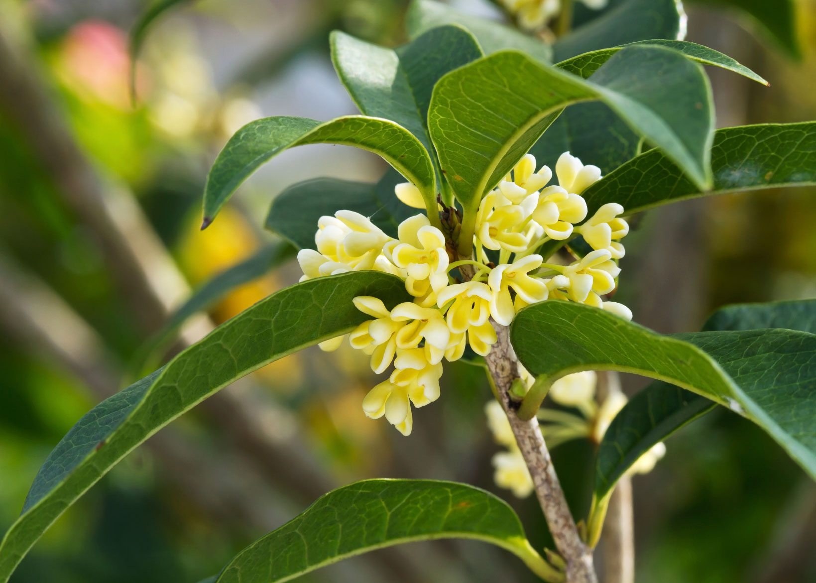 Osmanthus tea olive care tips for growing osmanthus plants for Olive plant care
