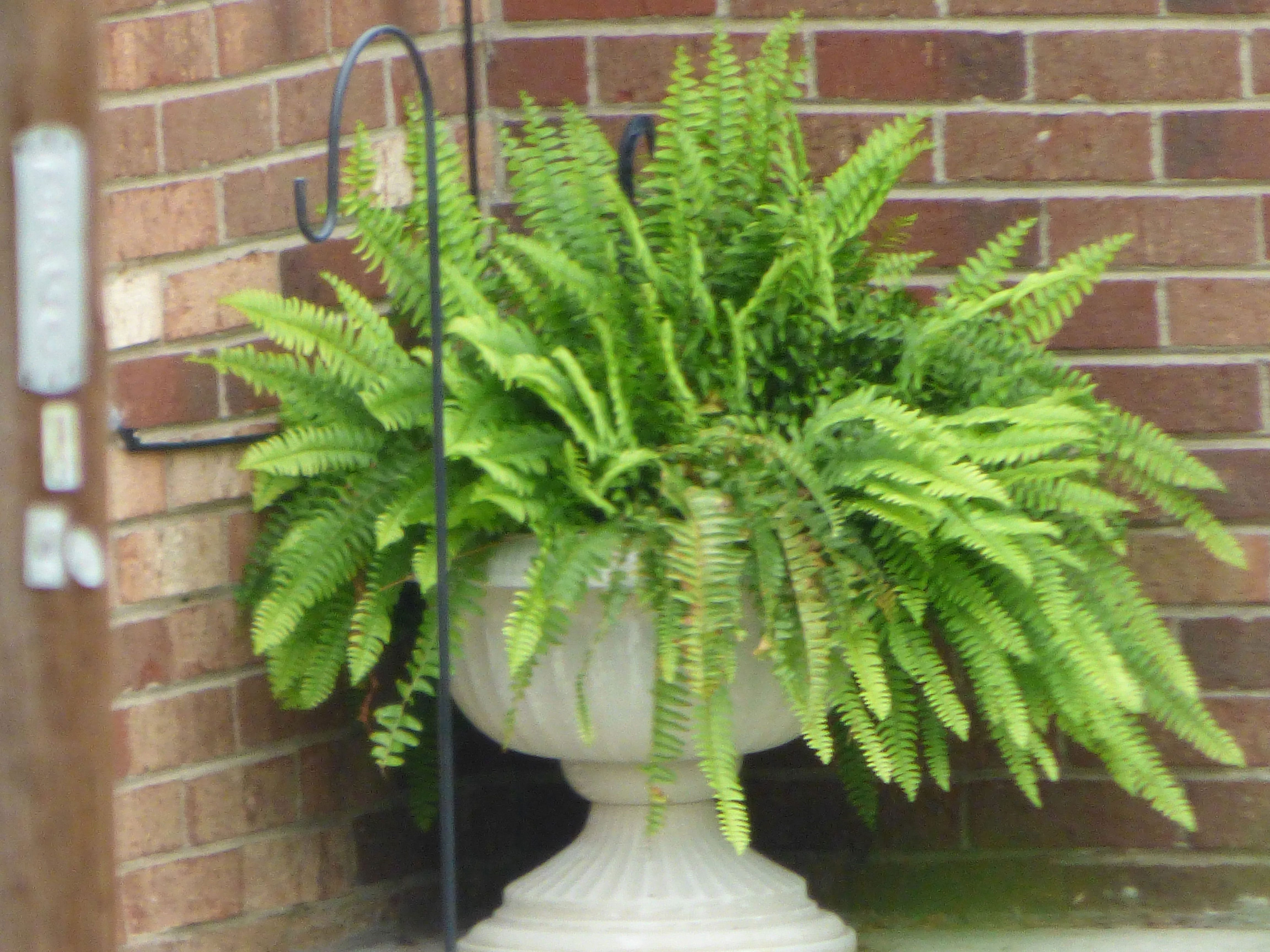 boston fern outdoor care tips for growing boston fern in gardens. Black Bedroom Furniture Sets. Home Design Ideas