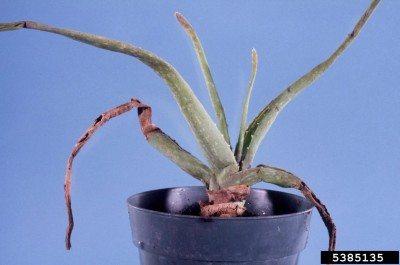 aloe aphids