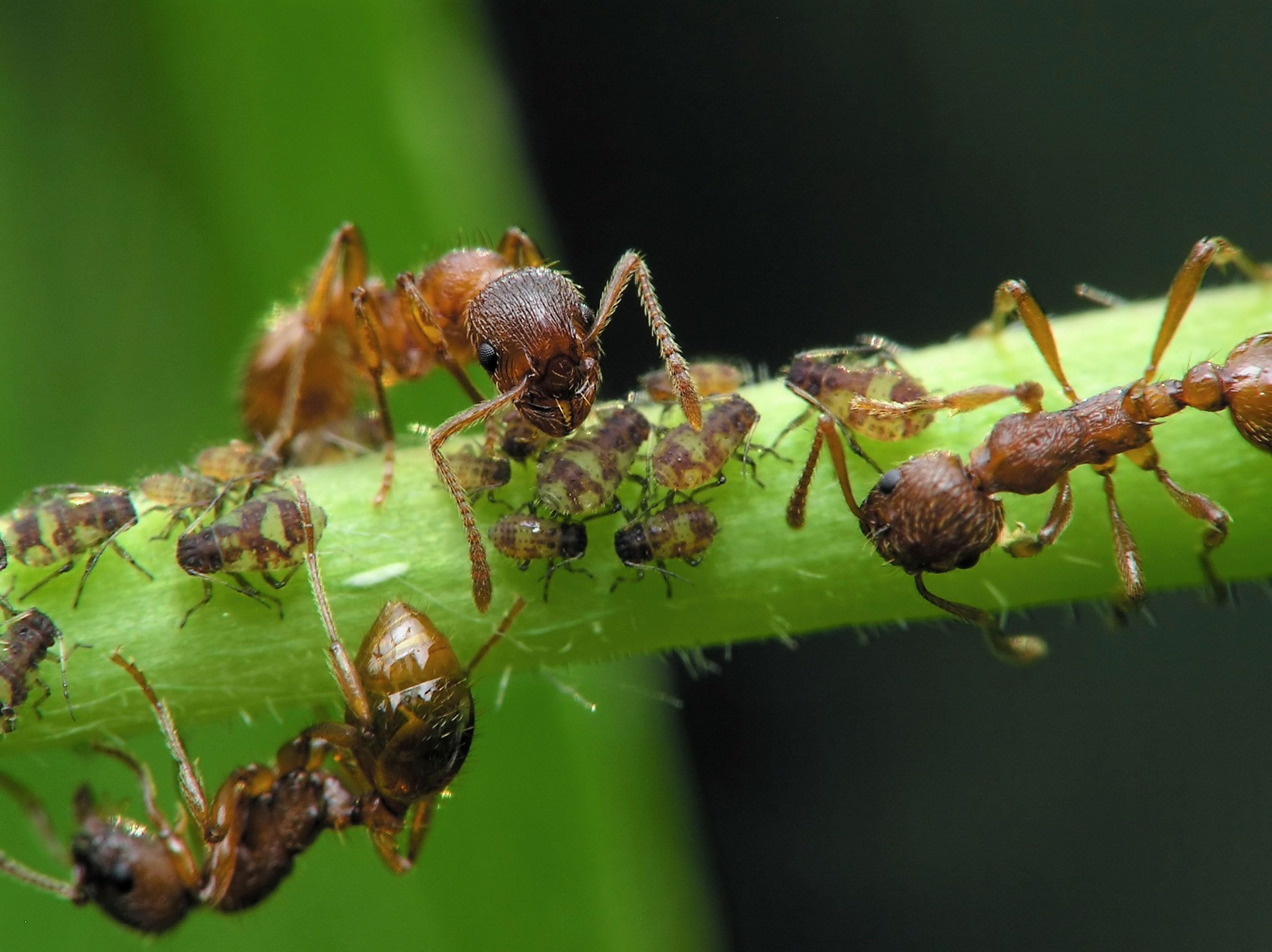 leaf hopper and meat ant relationship questions