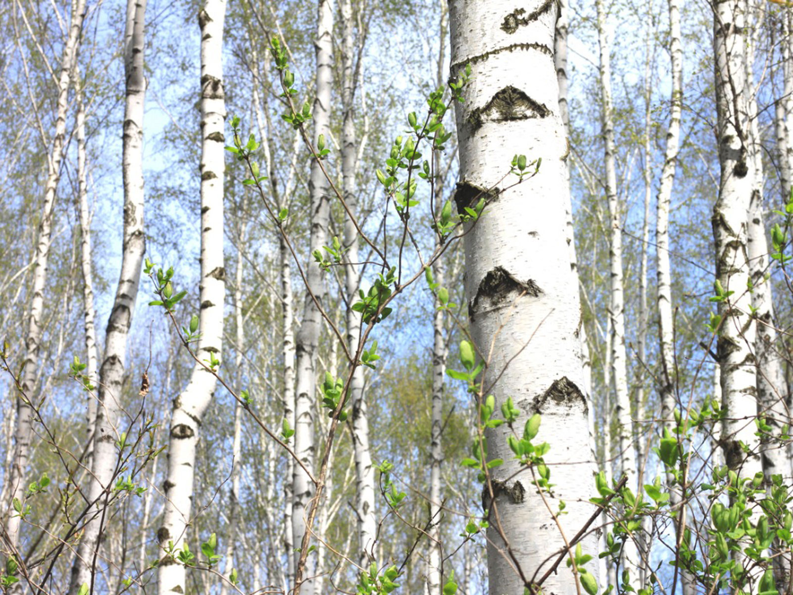 Paper Birch Tree Facts How To Care For A Paper Birch Tree