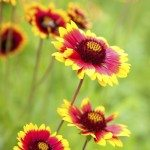 Beautiful red flowers. Gaillardia pulchella (Blanketflower)