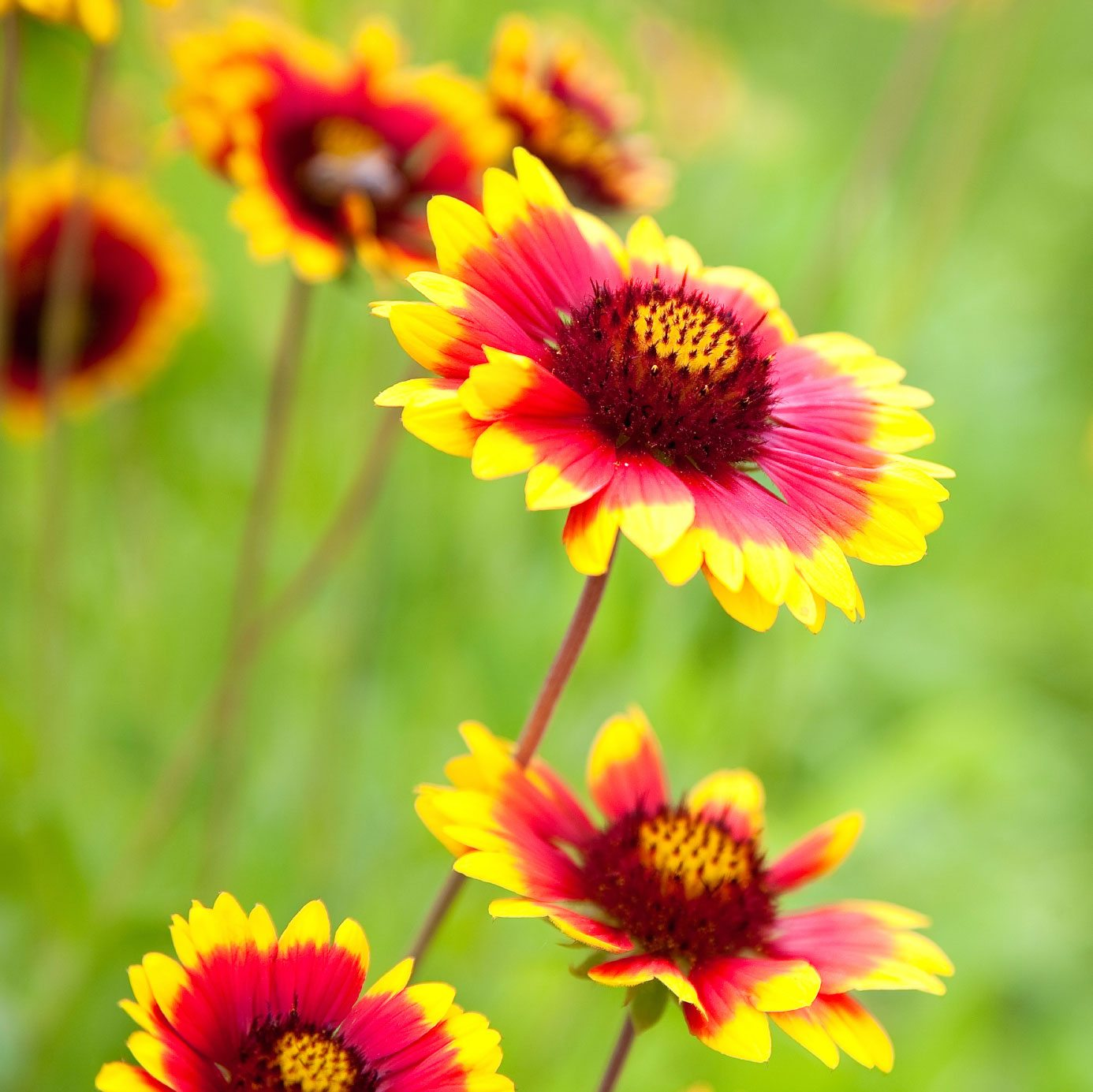 Blanket Flower Winter Care - How To Winterize Blanket ...