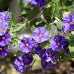 Solanum rantonnetii (Species: Lycianthes rantonnetii),  flowerin