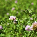 clover flowers - the flowers of a clover photographed by a close up. spring season