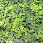 Cover Crop - Perennial Peanut (Arachis pintoi)