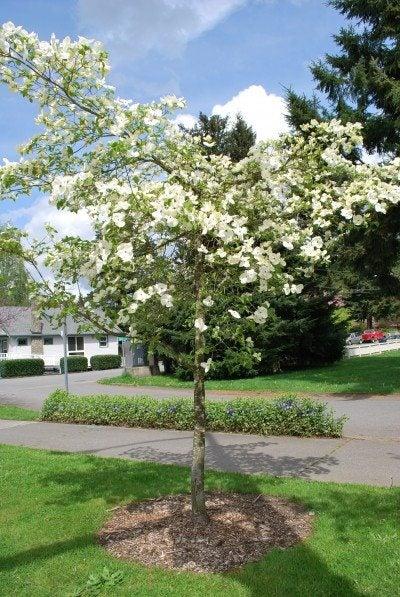 dogwood-planting