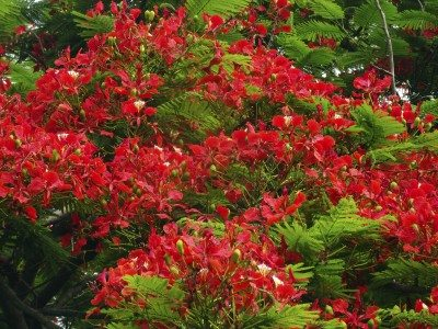 What is a flame tree: learn about the flamboyant flame tree