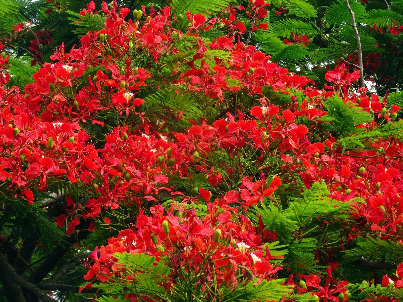 Delonix Flame Tree Care Where Do Flame Trees Grow