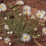 White Fleabane Growing in Red Rock