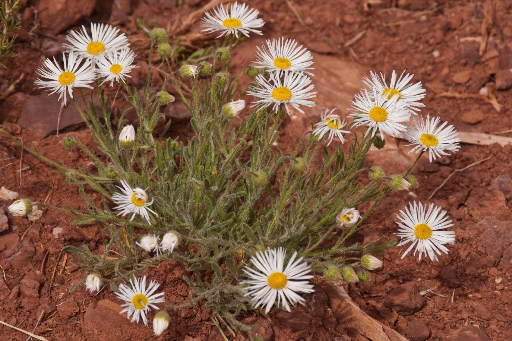 Managing Fleabane Plants Learn About Fleabane Control