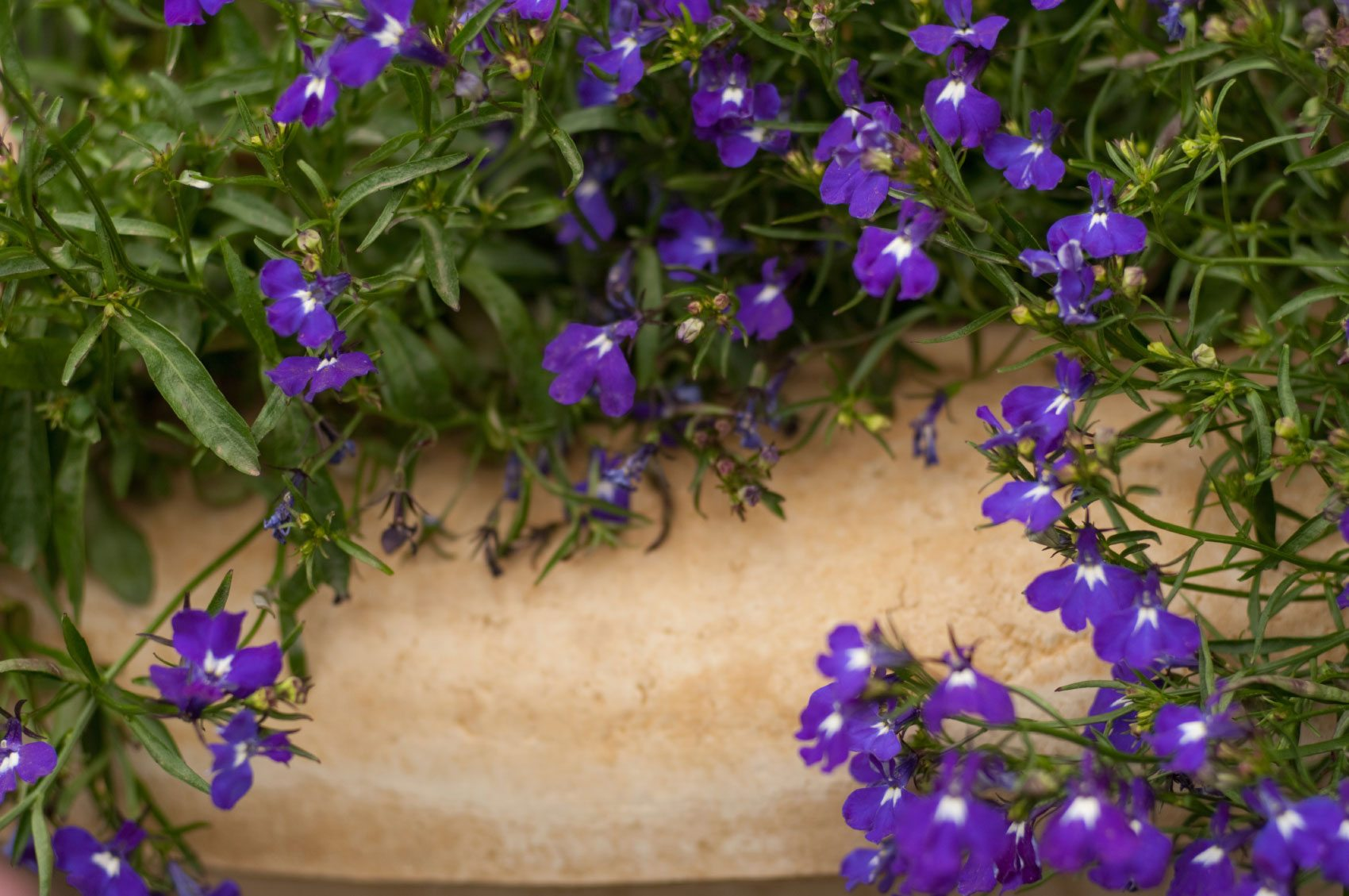 Trimming Back Lobelia When And How To Prune Lobelia Flowers