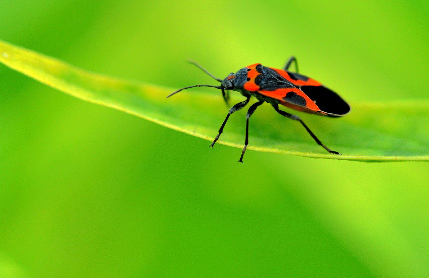 Milkweed Bug Information Are Milkweed Bugs Harmful