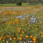 California Spring Wildflowers and Oak Woodland