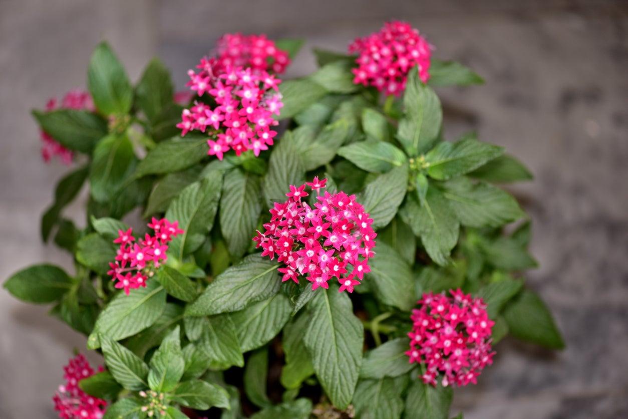 Pentas Plant Care - How To Grow Pentas Flowers