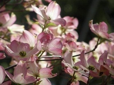 Dogwood Varieties Learn About Different Kinds Of Dogwood Trees