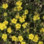 potentilla-ground-cover