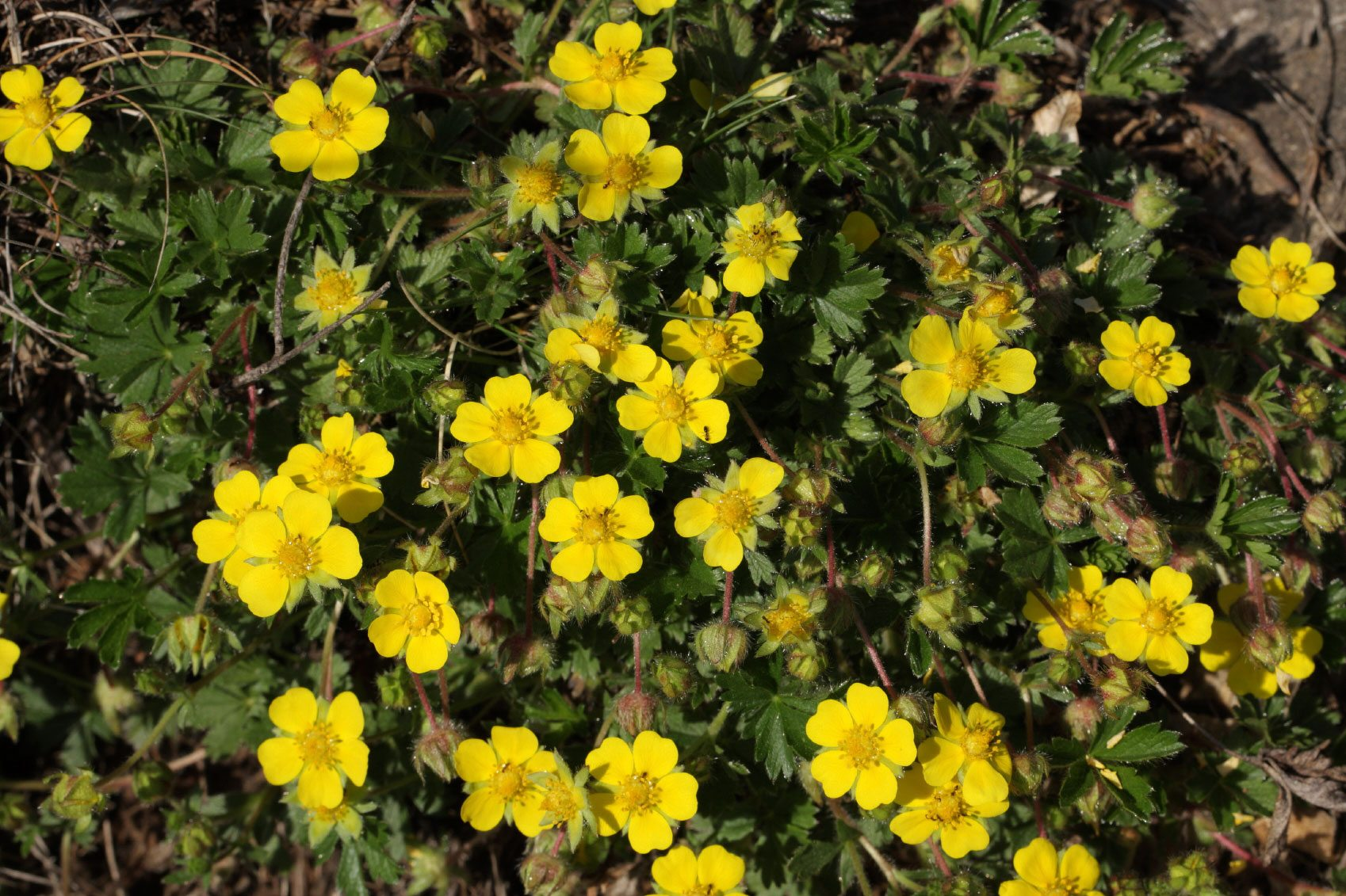 Types of creeping potentilla tips for growing creeping cinquefoil types of creeping potentilla tips for growing creeping cinquefoil plants mightylinksfo