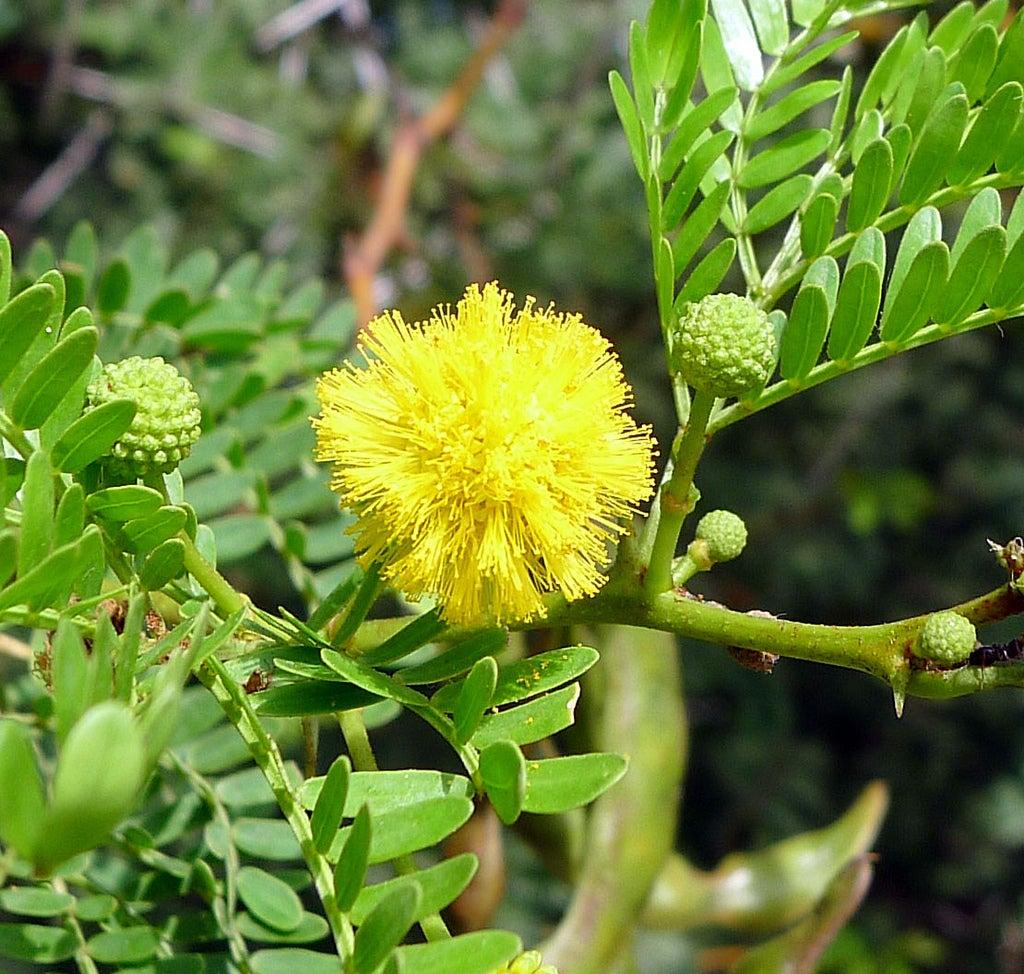 Acacia Karroo Trees Information On Acacia Sweet Thorn Plants