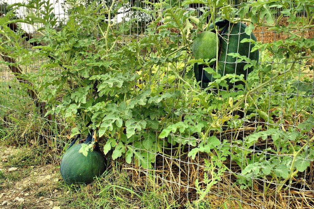 Watermelons On the VineWatermelons On The Vine