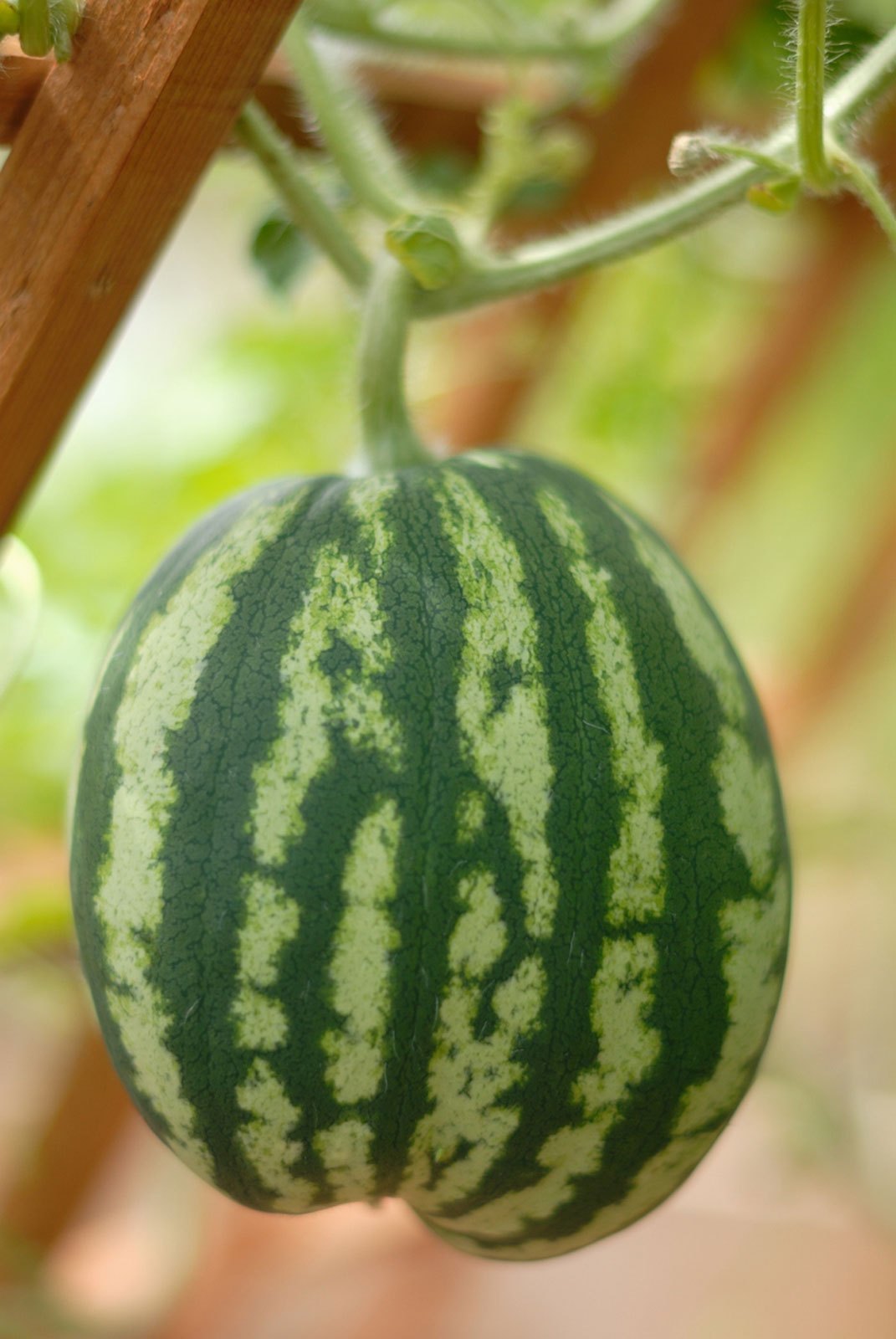 How To Grow Watermelons On Trellises