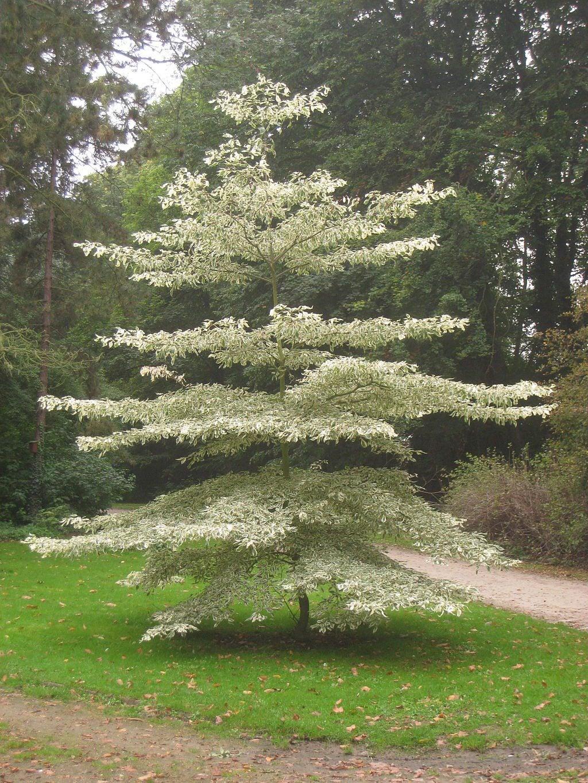 Dogwood Trees Diseases