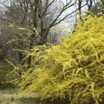 weeping forsythia