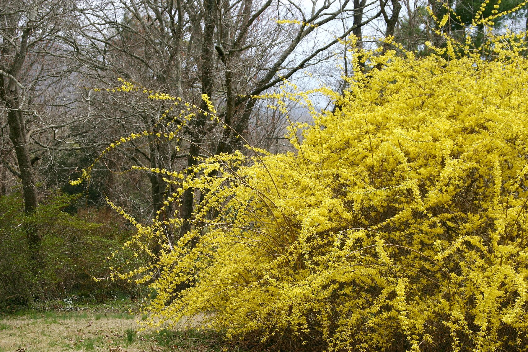 Care Of Weeping Forsythias Learn About Weeping Forsythia