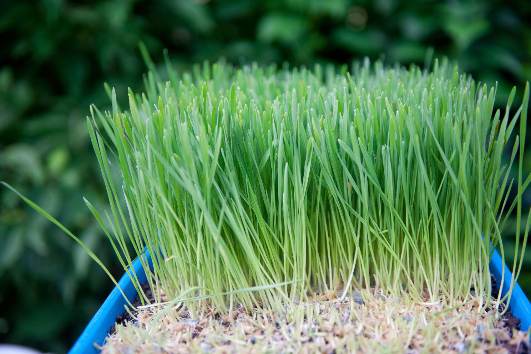 wheatgrass benefits how to grow wheatgrass indoors and out. Black Bedroom Furniture Sets. Home Design Ideas