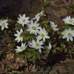 Snowdrops. Anemone nemorosa.