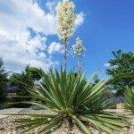 Blooming Yucca bush