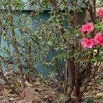 azalea branch dieback