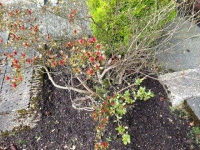 azalea no leaves