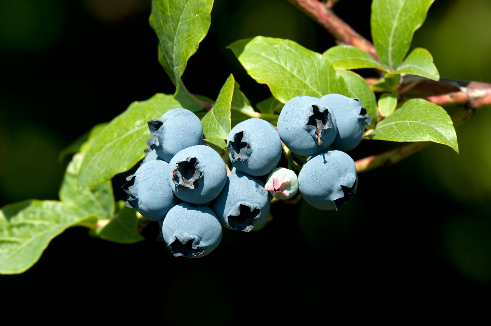 Blueberry Bush Seed Propagation How To Grow Blueberries