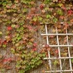 boston ivy wall