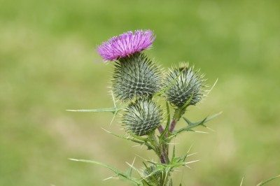 Bull Thistle Control Managing Plants In Gardens