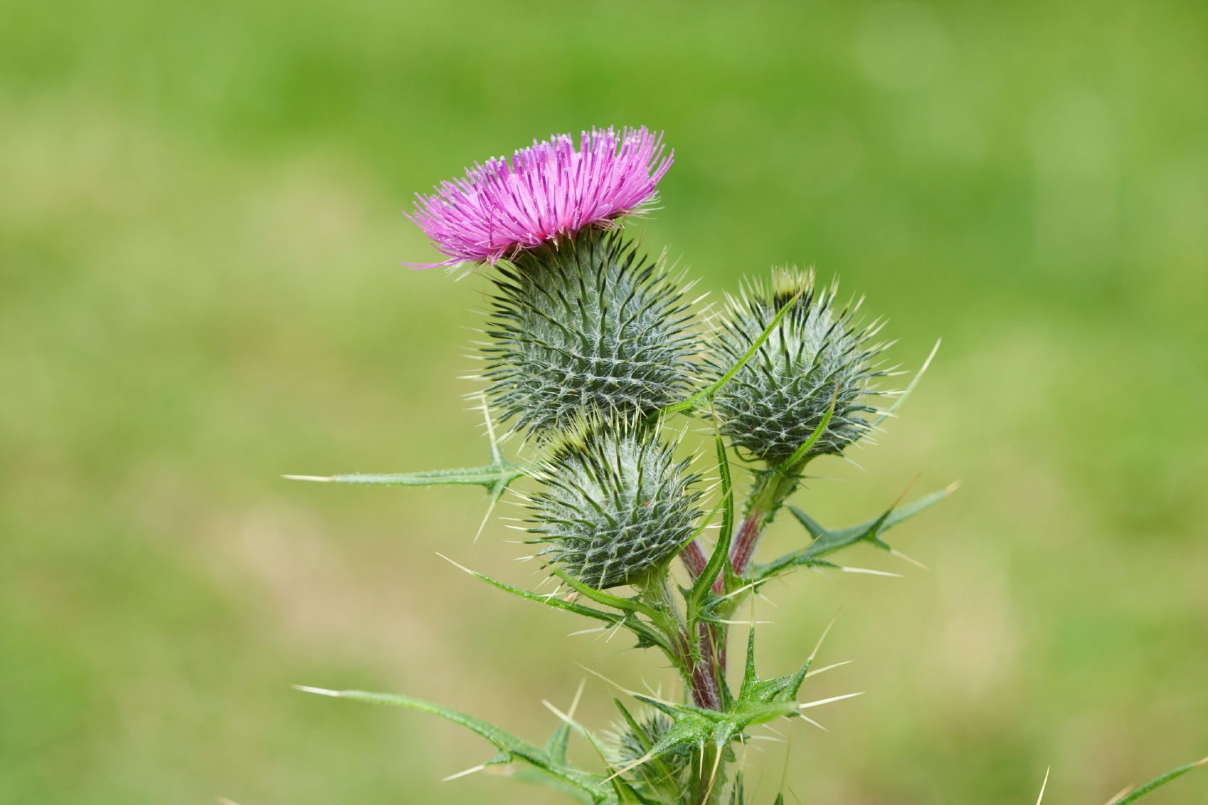 Image result for bull thistle