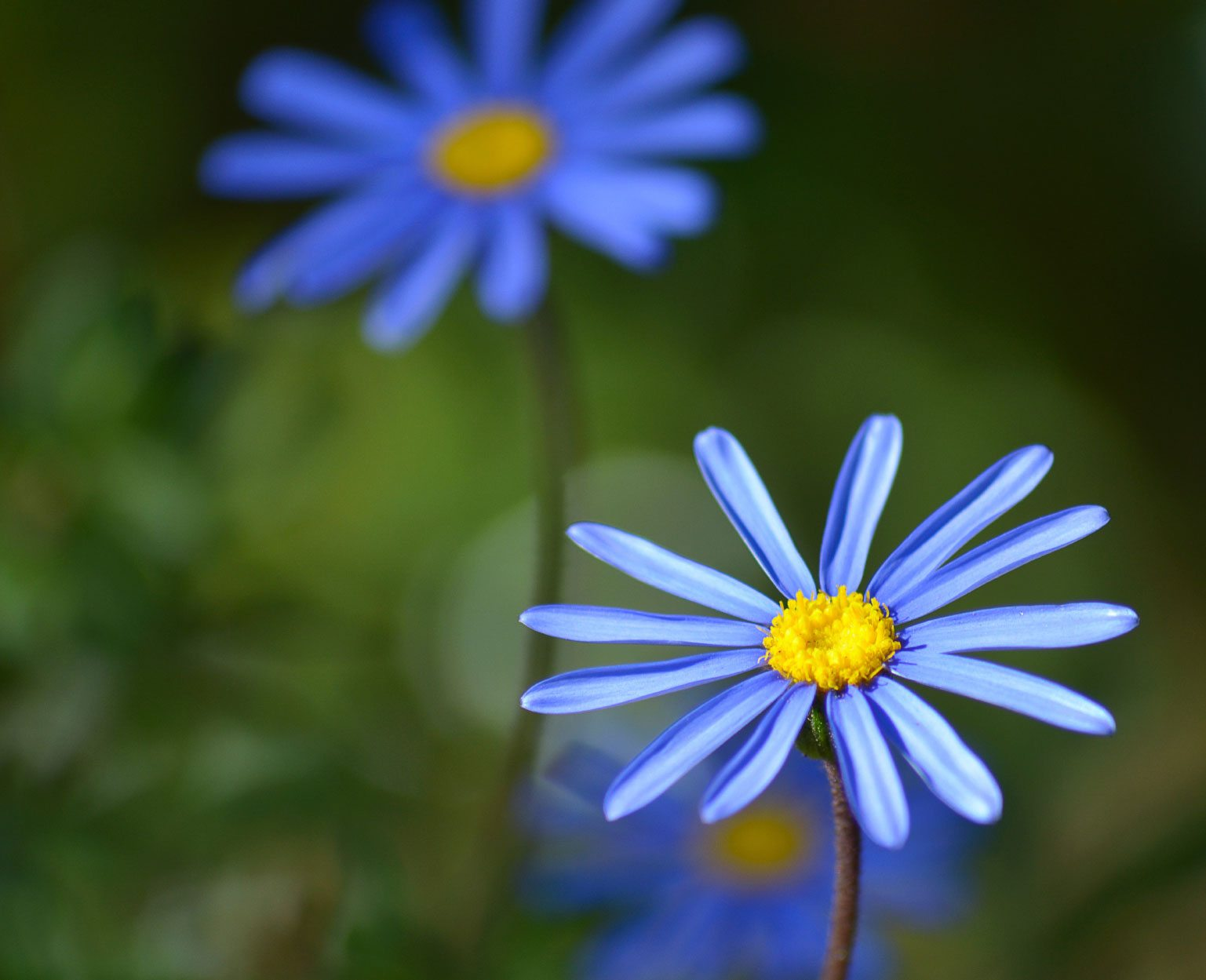 Felicia blue daisy information how to grow a blue kingfisher daisy felicia blue daisy information how to grow a blue kingfisher daisy plant izmirmasajfo
