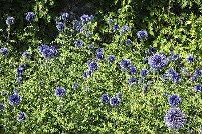 Globe Thistle Care: How To Grow Globe Thistle Plants