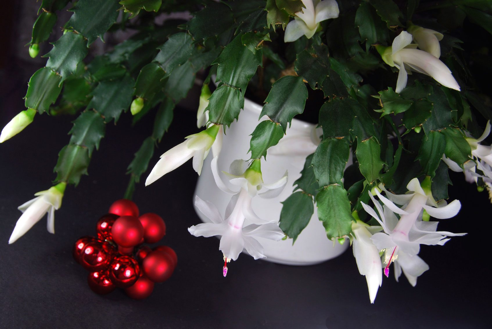 common holiday cacti types of christmas cactus plants. Black Bedroom Furniture Sets. Home Design Ideas