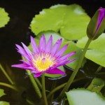 lotus, purple water lilies in a pond