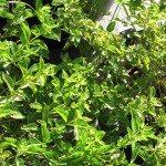 lantana leaves