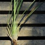 lemongrass on wood