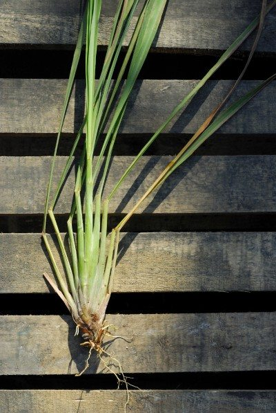 Overwintering Lemongrass Preparing Lemongrass For Winter