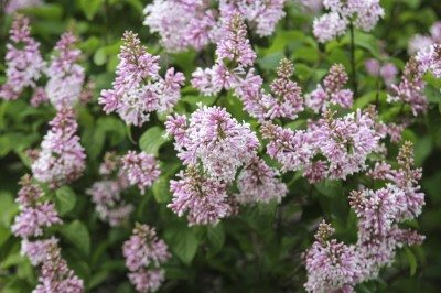 how to take cuttings from lilac bush