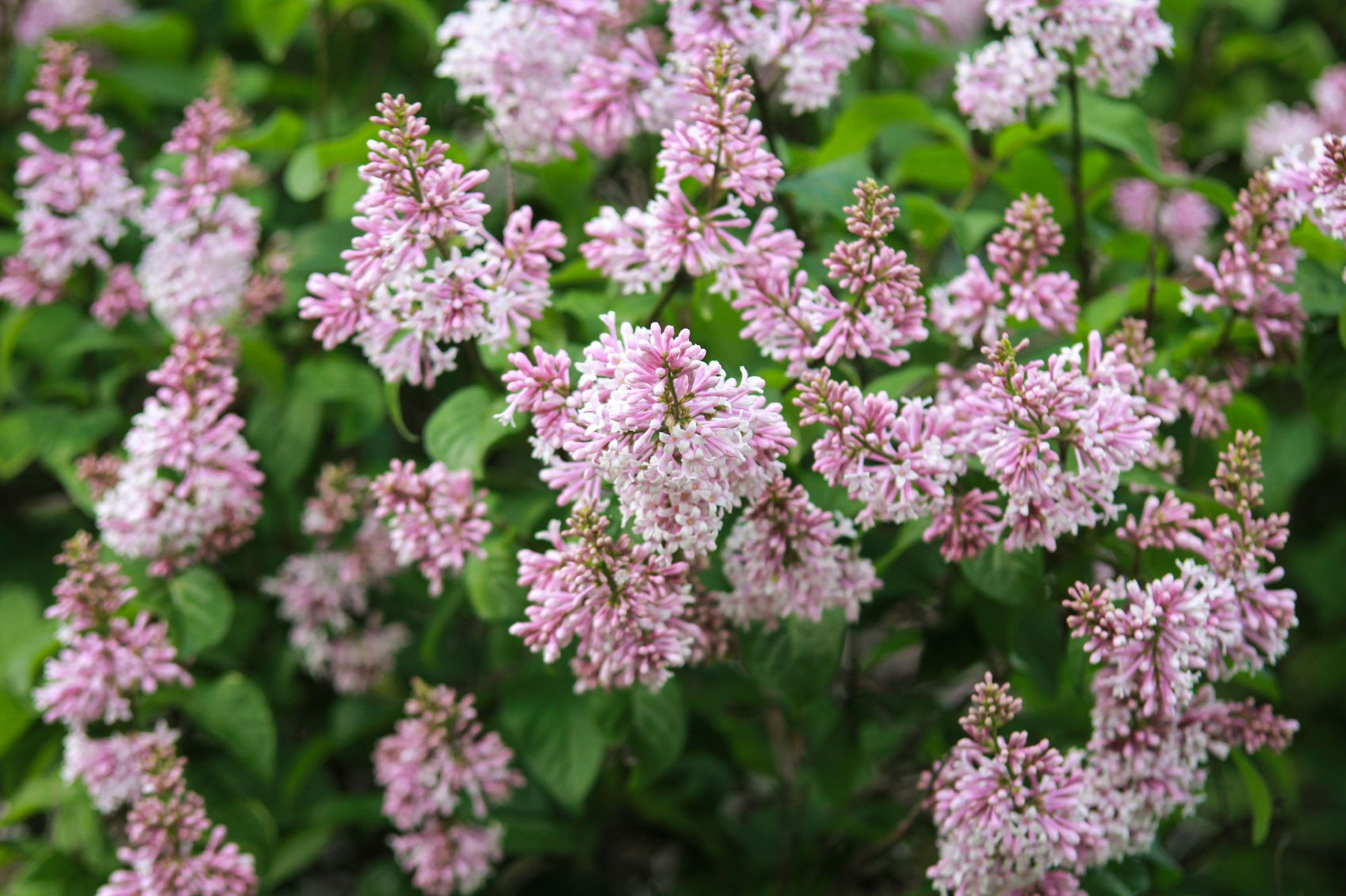 Fertilizing lilacs when and how to fertilize lilac shrubs - When to fertilize vegetable garden ...