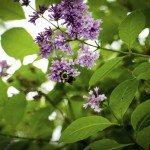 lilac growth