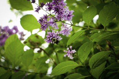Propagating Lilac Bushes Growing From Cuttings