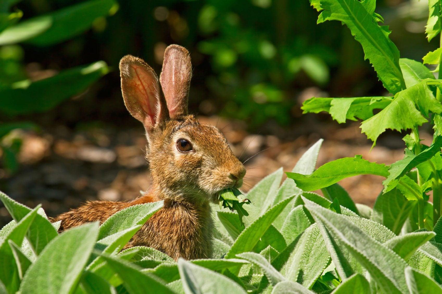 Rabbit Resistant Plants - What Are Some Plants Rabbits Won\'t Eat