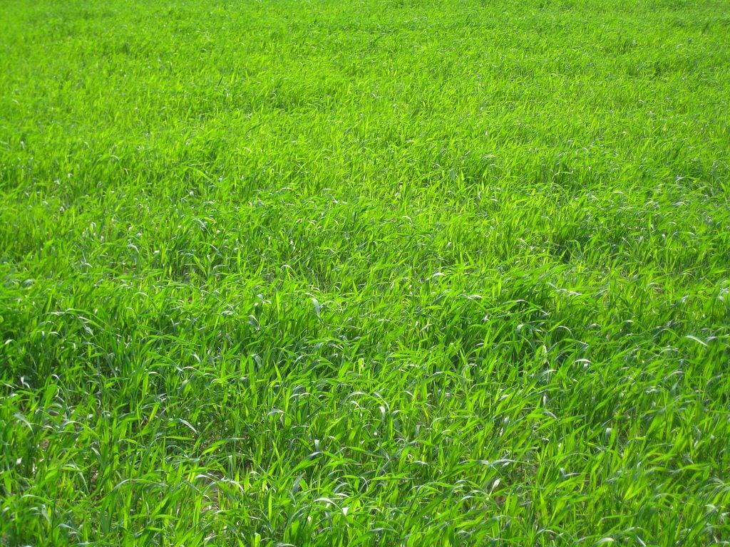 Planting perennial ryegrass what is perennial ryegrass for Garden grass